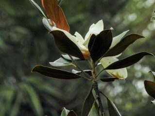 49 - Magnolia grandiflora