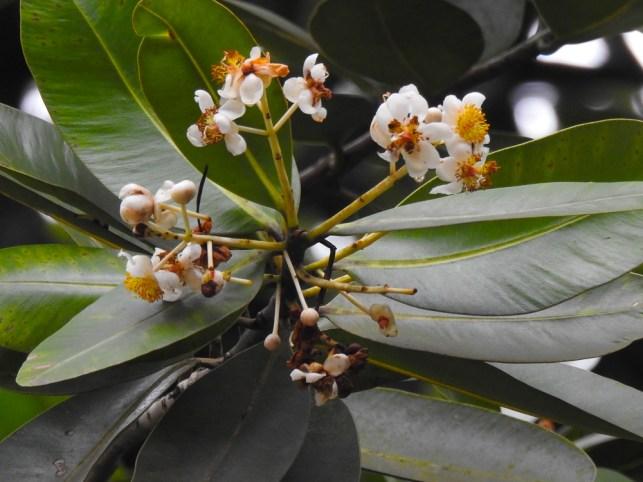 51 - Garcinia xanthochymus