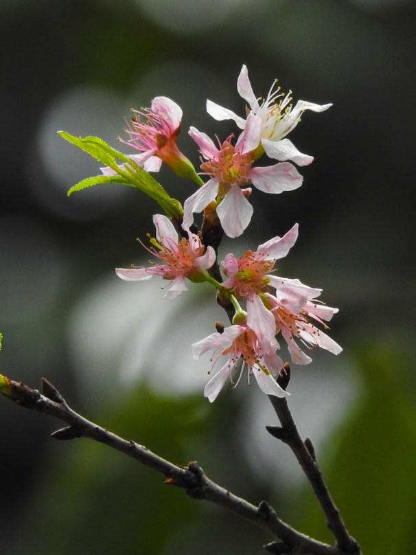 56 - Prunus