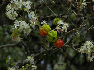 Eugenia uniflora