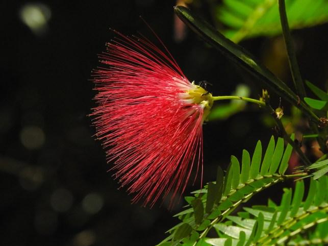 58 - Calliandra harrsii