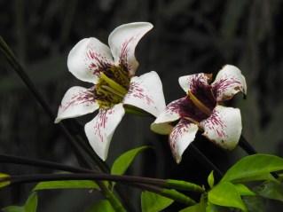 58 - Rothamannia longiflora