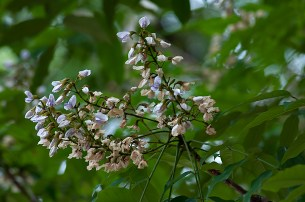 Grazielodendron rio-docensis