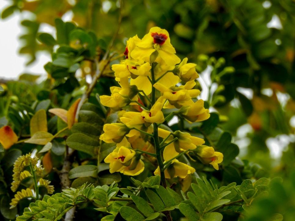 65 - Caesalpinia echinata