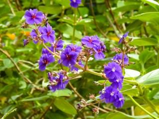 Tibouchina heteromala