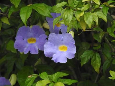Thumbergia erecta