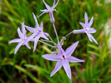 Tulbaghia violaceae