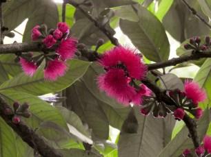 007 - Syzygium malaccensis