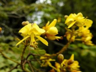 049 - Caesalpinea pyramidalis