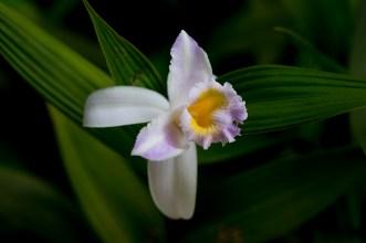 055 - Sobralia yaperensis