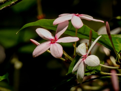 095 - Kopsia fruticosa