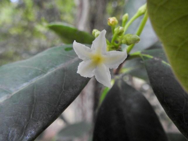 098 - Mascarenhasia arborescens