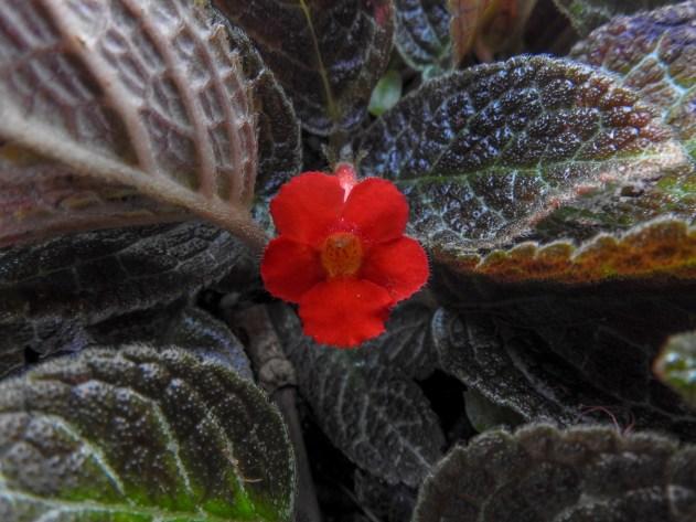 10 - Episcia cupreata