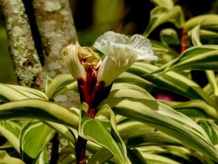 32 - Cheilocostus speciosus