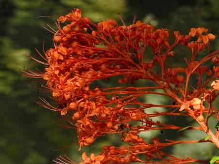 35 - Clerodendron speciosissimum