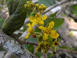 47 - Banisteropsis laesifolia