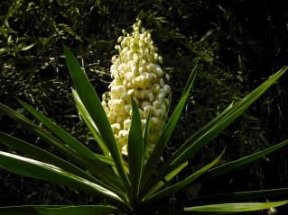 49 - Yucca aloifolia