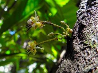 76 - Theobroma cacao