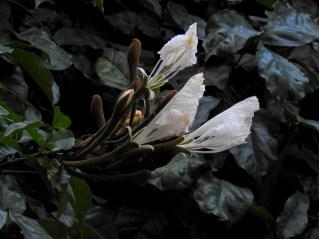 89 - Camoensia máxima