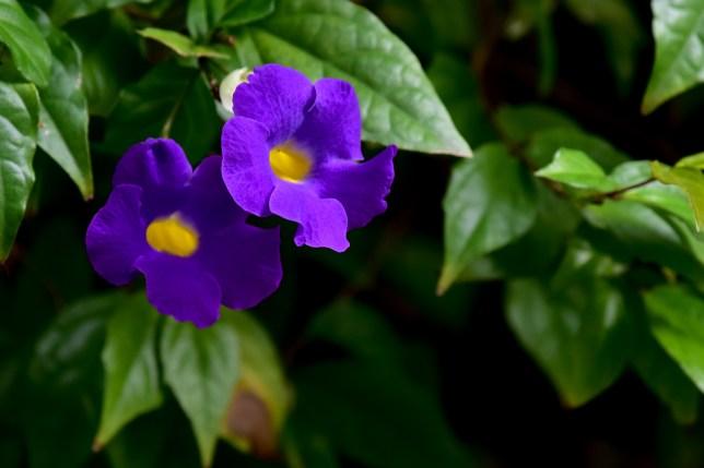 01 - Thumbergia erecta