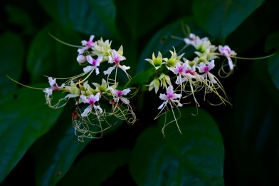 04 - Clerodendron scandens