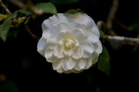 08 - Camellia japonica