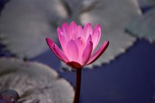15 - Nymphaea rubra