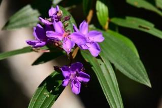 22 - Tibouchinas granulosas