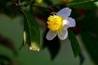 31 - Camellia sinensis