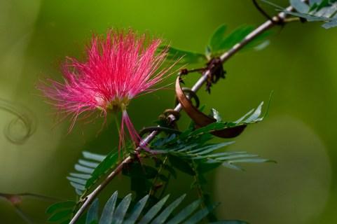 37 - Calliandra harrsii