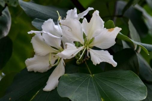 06 - Bauhinia variegata albo-flava