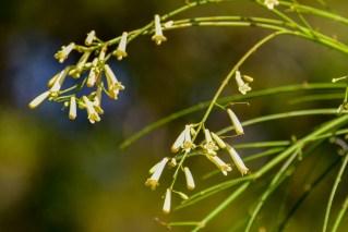 21 - Russelia equisetiformis