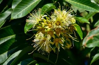 25 - Duabanga grandiflora