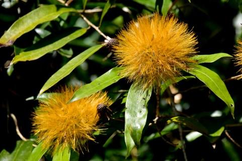 34 - Stifftia crysantha