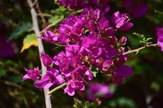 37 - Bougainvillea spectabilis