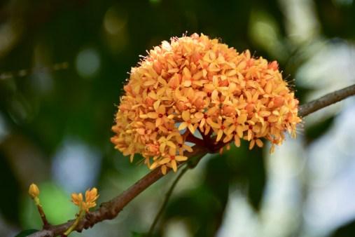 44 - Saraca thaipingensis