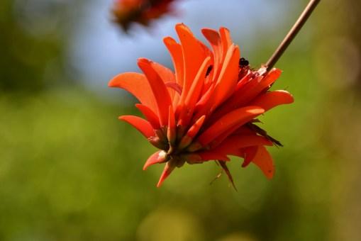 51 - Erythrina variegata