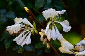 05-camoensia-scandens