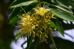 36-duabanga-grandiflora