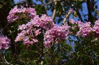 46-tabebuia-rosa