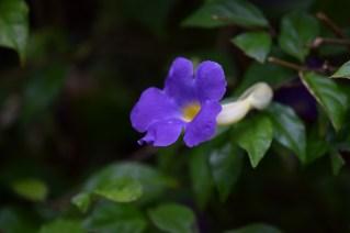 03-thumbergia-erecta