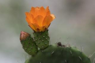 17-cactus-flor-laranja
