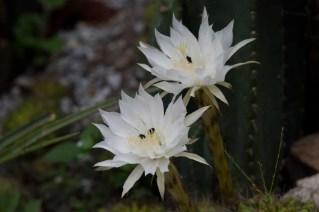 18-echinopsis-calochlosa-1