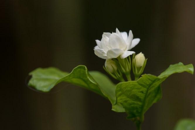 19-jasminum-sambac