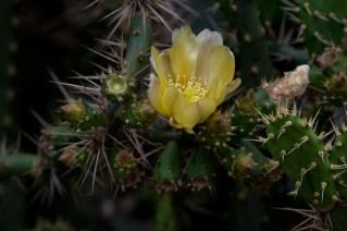 19-opuntia-flor-amarela