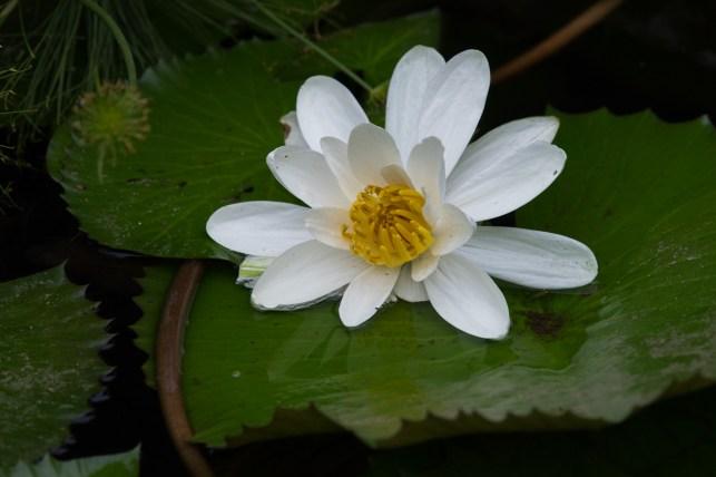 21-nymphae-lotus