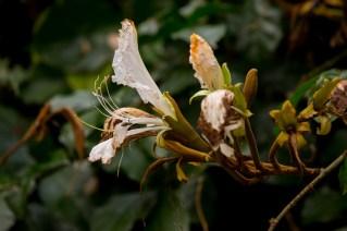 35-camoensia-scandens