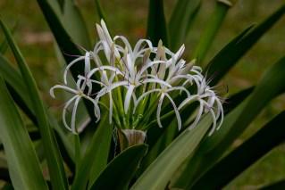 38-crinum-asiaticum