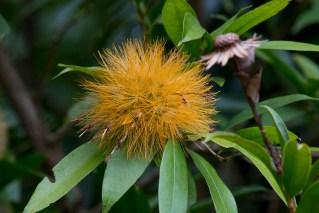 40-stifftia-chrysantha