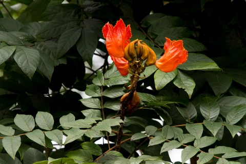 45-spathodea-campanulata